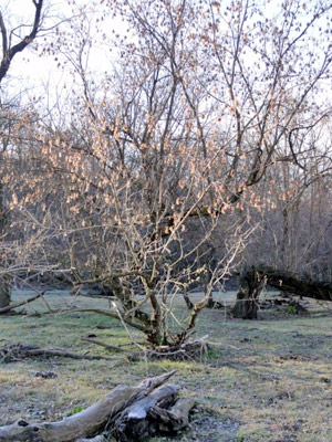 Box elder trees with seeds ready to fall.