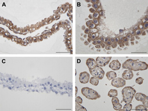 Photomicrographs of embryonic tissue collected from mares at Day 12 of pregnancy. (A) Positive insulin like growth factor (IGF)-1 staining in a male embryo at Day 12. (B) Positive IGF-1 staining in a female embryo at Day 12. (C) Negative control (embryo Day 12) for secondary rabbit antibody. (D) Positive control of IGF-1 staining of equine allantochorion. Scale bars of all photomicrographs = 50 μm. .