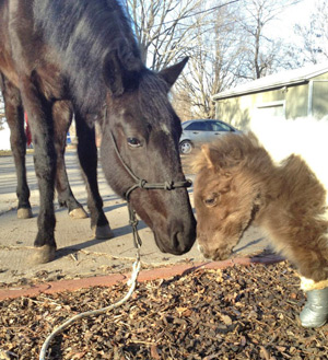 Roo chats to his much larger stablemate Biddy.