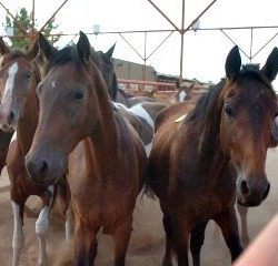 Uncertainty shrouds horse slaughter in US