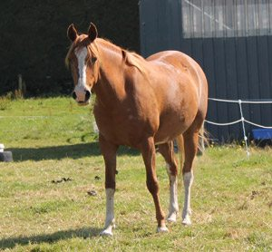 Horse breeds are not created equal when it comes to weight loss,a  study has found.