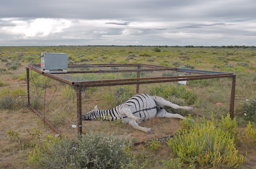Four of the carcasses were four were protected from scavengers by electrified cage exclosures.