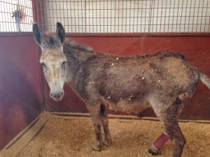 A male donkey is among the equine found so far in Moore.