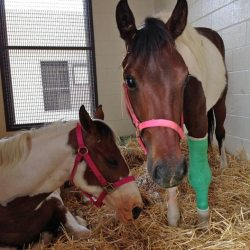 Worthy resting in her stable with Indie.