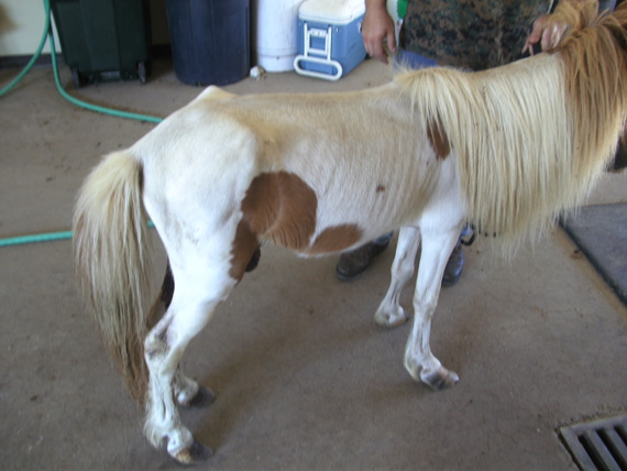 Achilles after he was seized from a property in Texas.