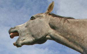 No laughing matter: Experts have successfully identified facial expressions in horses indicative of pain.