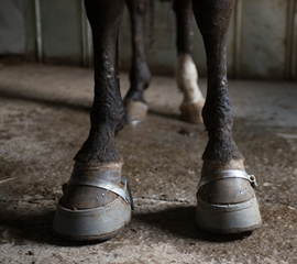"""""""Big Lick"""" show horses are fitted with tall, heavy stacks like these, forcing them to stand at a painful, unnatural angle. Photo: Kathy Milani/The HSUS"""