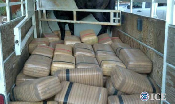 A one-tonne haul of dope packed inside a horse trailer - along with a horse.