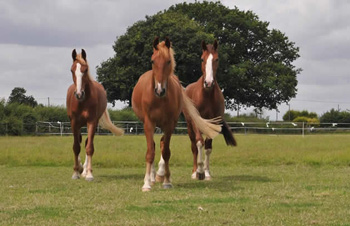 Bungle, right, with Zippy and George when they first arrived at Redwings. Photo: Redwings
