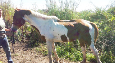 One of the rescued horses.