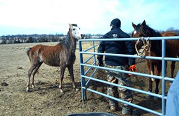 One of the horses taken from a property outside Lebanon, Missouri. Photo: Humane Society of Missouri