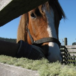 Bacterial changes in horse manure precede colic – study