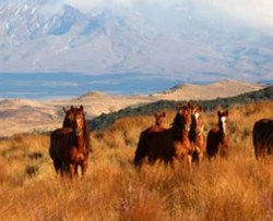 Homes sought for NZ wild horses as muster nears