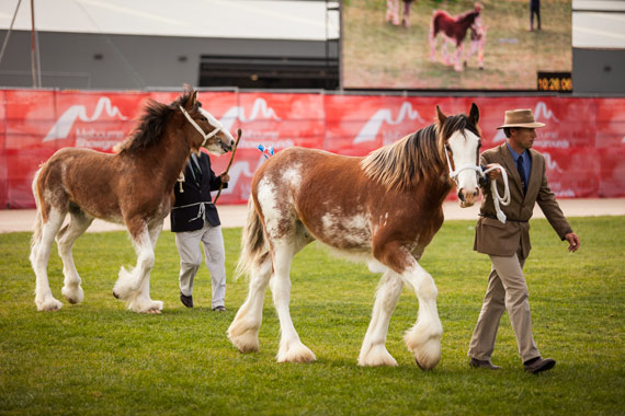 Clydesdales at the 2013 Royal Melbourne Show.