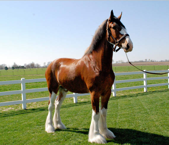 """Mark is a special horse,"" said JFP Equine owner Jim Poole. ""Hundreds of Clydesdales have passed through my stables throughout my career and very few, if any, have possessed the total package of size, color, structure and temperament that he does."""