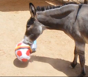 Cisco may have gone for Germany, but he certainly gave the ball a hard time. Photo: El Paso Zoo