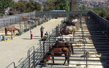 The seized horses are now being cared for at San Diego County's animal care facility in Bonita. Photo: San Diego County