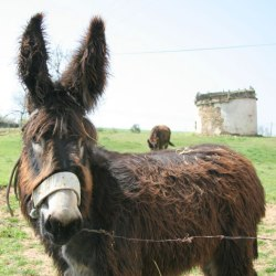 Fears for future of native Portuguese donkey breed