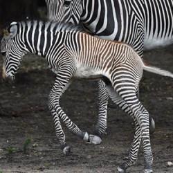 Jump for joy: Newborn Grevy's zebra foal welcomed in Miami