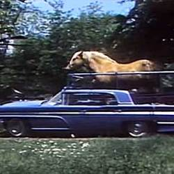 Butterscotch the horse hits the road in his Lincoln Continental
