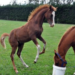 Refrozen stallion semen tested on in-season mares in German study