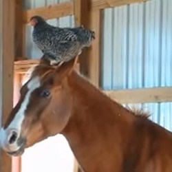 Video: Horse strikes up unlikely friendship with … a chicken