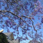 Jacaranda tree in full bloom
