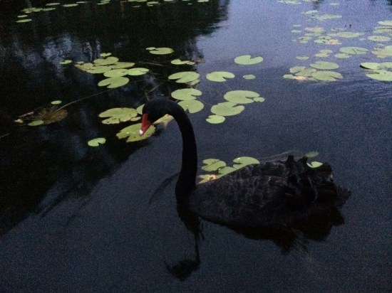There are lots of birds on the lake like this black swan