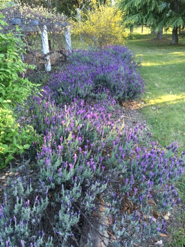 Keeping lavender around your home is said to keep away the blowflies