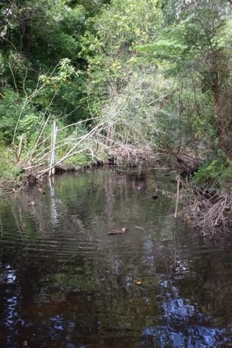 Ducks in the stream