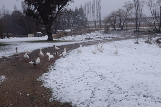 Mind the geese