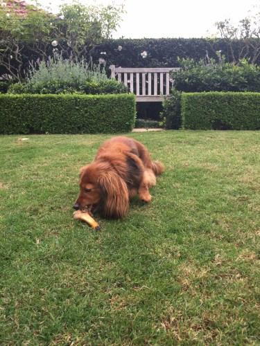 Elsie enjoying her bone