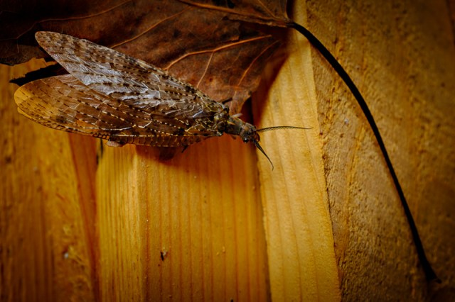 female Dobsonfly 2