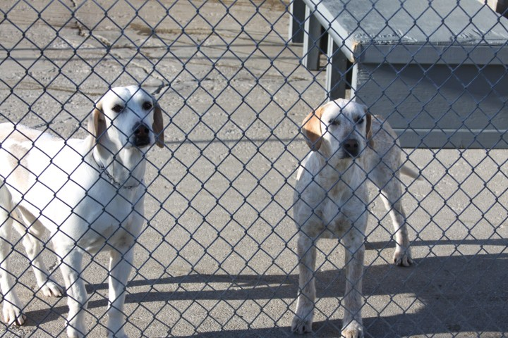 July Fox Hounds For Sale Coyote Running Hounds For Sale View .Walker