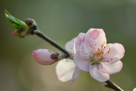 Almond flower in full bloom; this is what makes an almond nut!