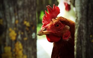 chicken-337036_1280