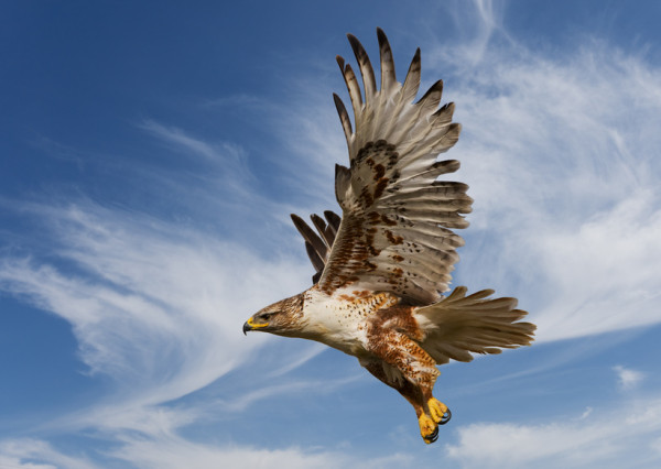 Large Ferruginous Hawk in flight with blue sky background