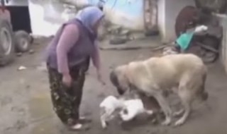 Watch Dog Breastfeeding Goat