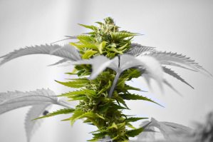 cannabis jordan greentree