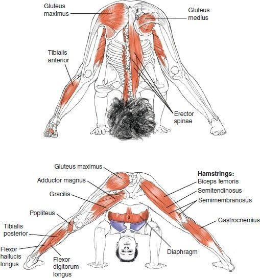 Anatomy And Yoga Pdf | Spotgymyoga.org