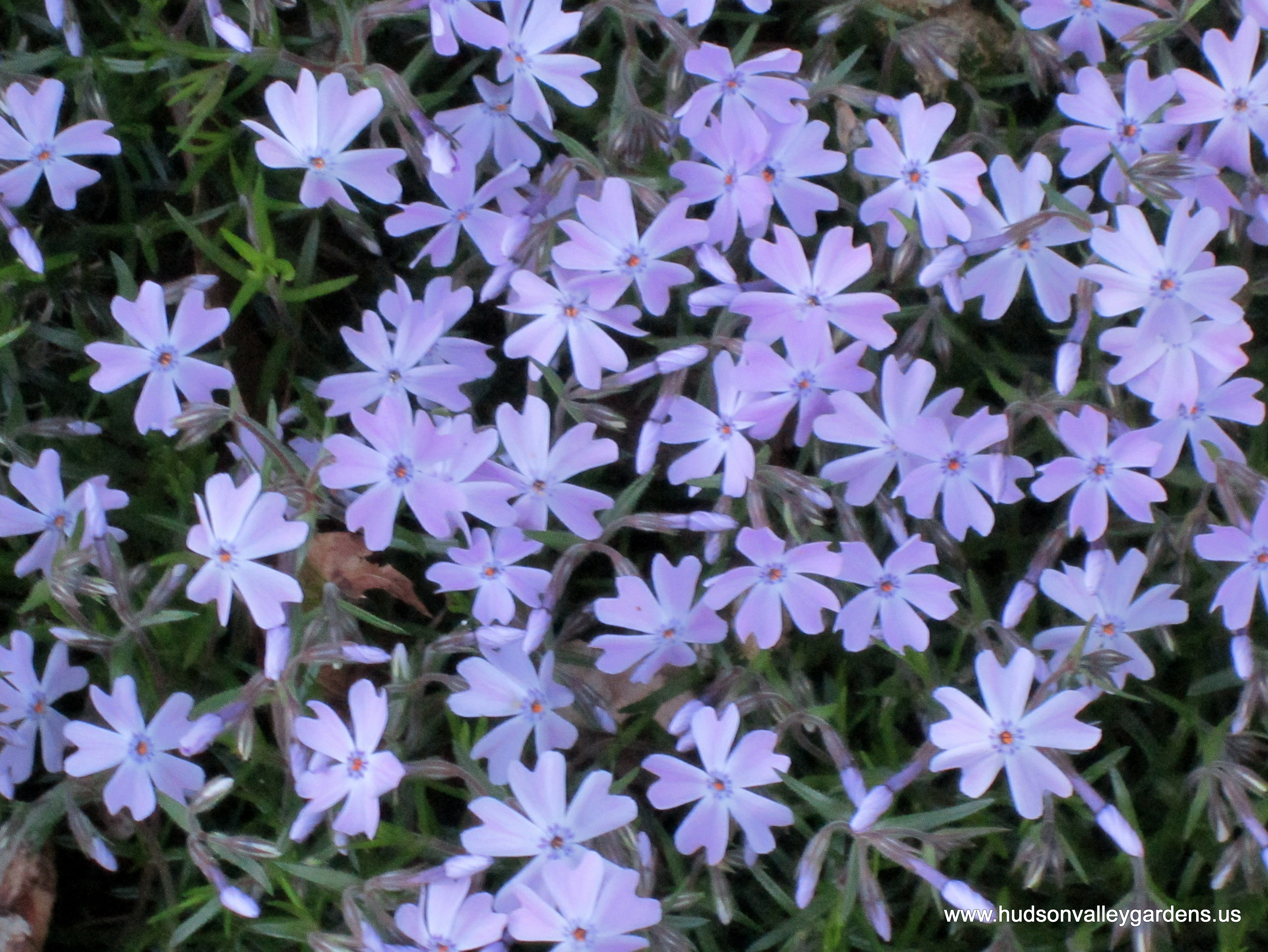 Cute Creeping Phlox Is Not Deer Food Ten Deer Resistant Plants Hudson Valley Hudson Valley Creeping Phlox Seeds Ebay Creeping Phlox Seeds Amazon houzz-03 Creeping Phlox Seeds