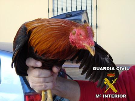Este gallo está valorado en 3.000 euros.