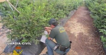 Guardia Civil en una plantación.