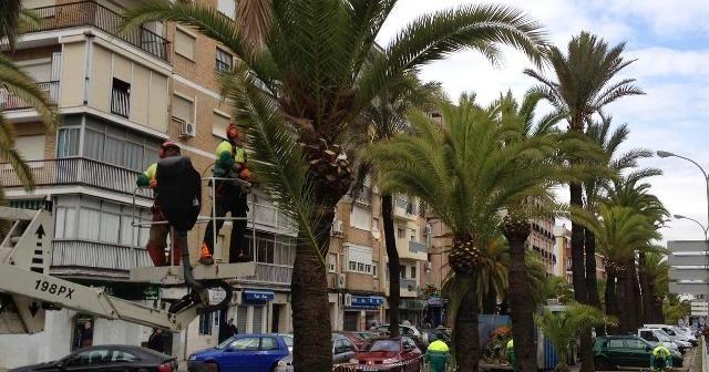 Poda de palmeras en Huelva.