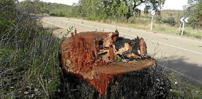 Una de las encinas cortadas junto a la carretera.