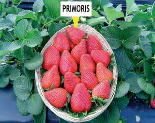 fresa PRIMORIS