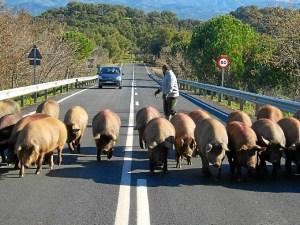 Cerdos carretera_01