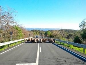 Cerdos carretera_02