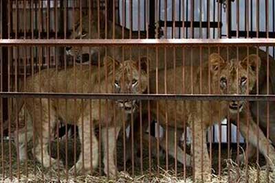 leones-enjaulados