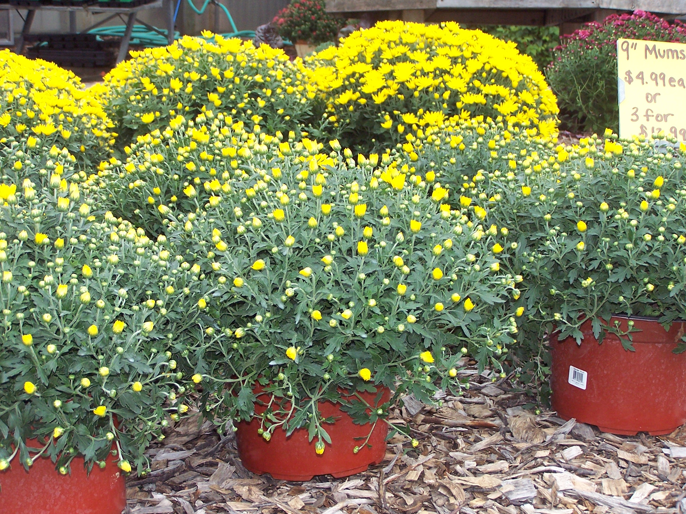 White Hardy Mums Hardy Mums Blog Are Mums Perennials Ohio Are Mums Perennial Flowers houzz-03 Are Mums Perennials